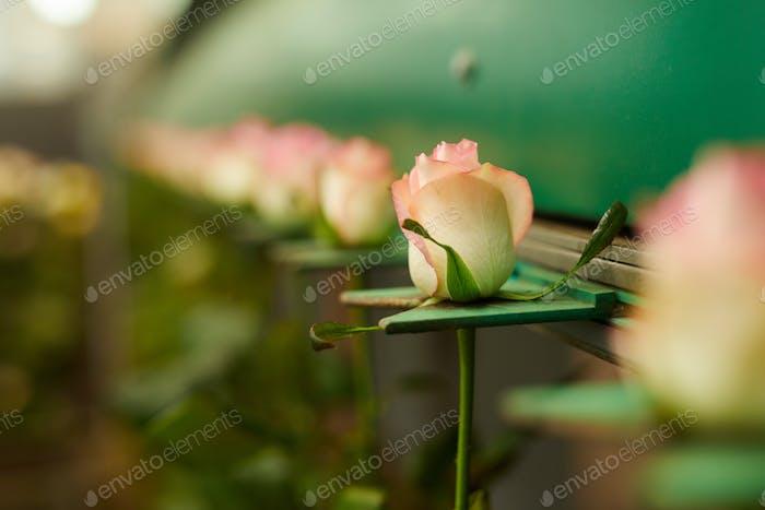 Growing beautiful roses