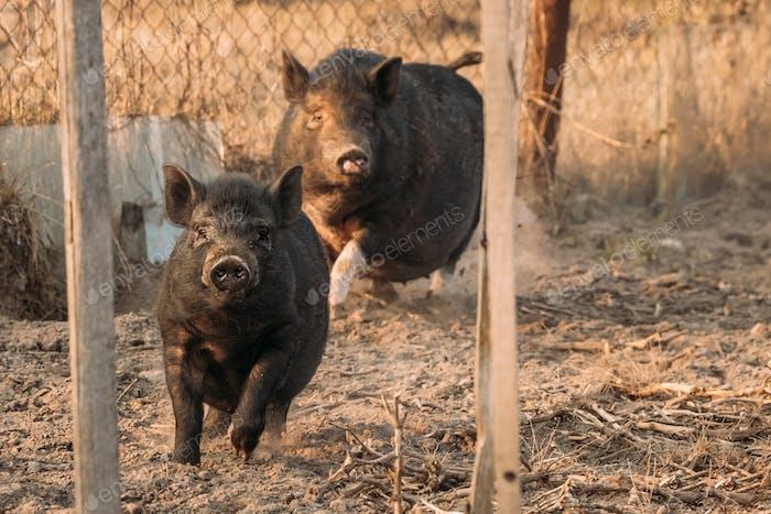 Zwei Schweine laufen in Hof. Schweinezucht züchtet und züchtet