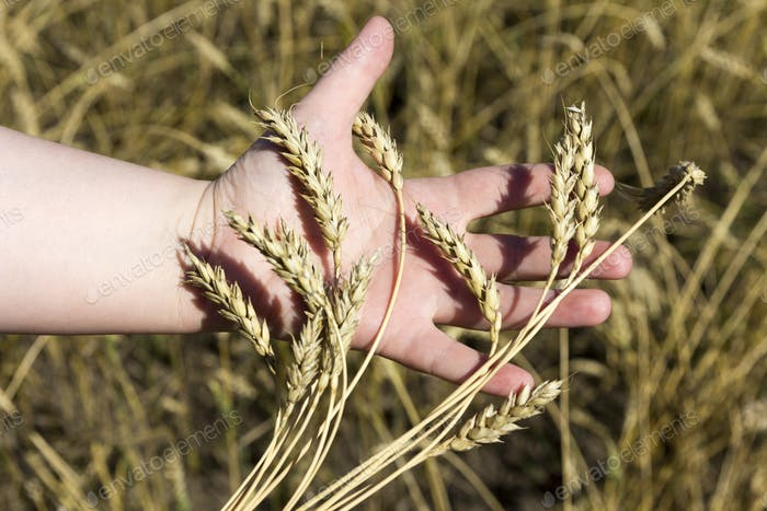 hand holding ears of wheat