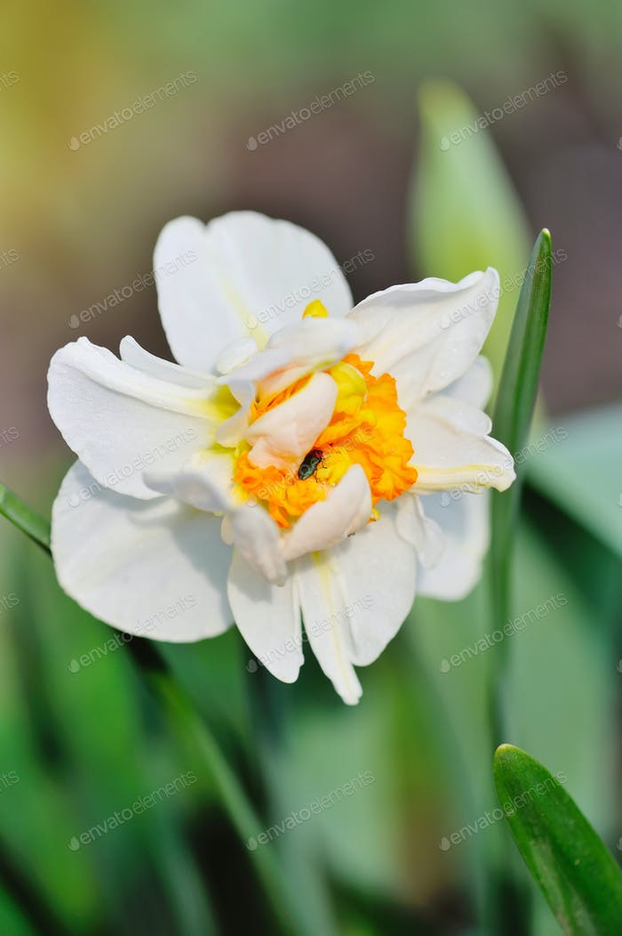 Flower narcissus