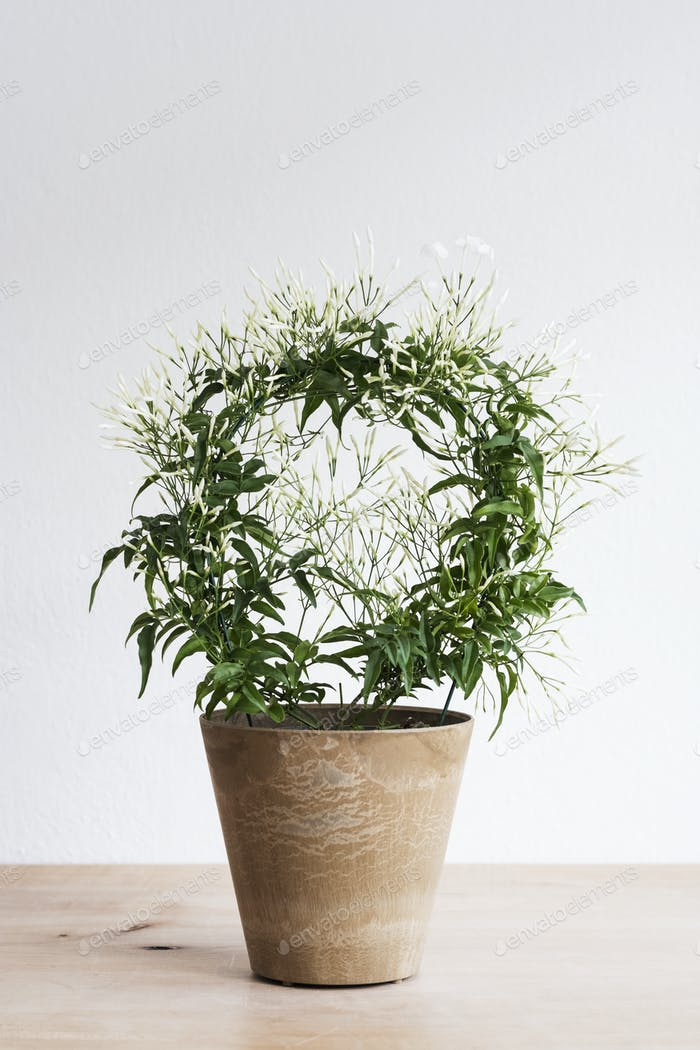 Close up of plant with delicate white flowers in a terracotta flower pot on wooden shelf.