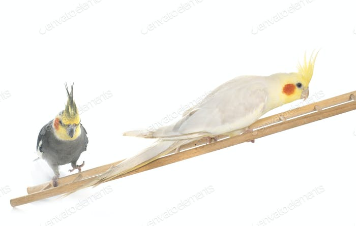 male cockatiel playing