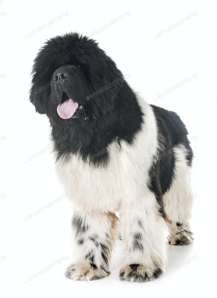 newfoundland dog in studio
