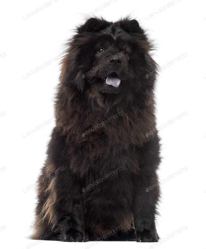 Chow Chow sitting, panting, 3 years old, isolated on white