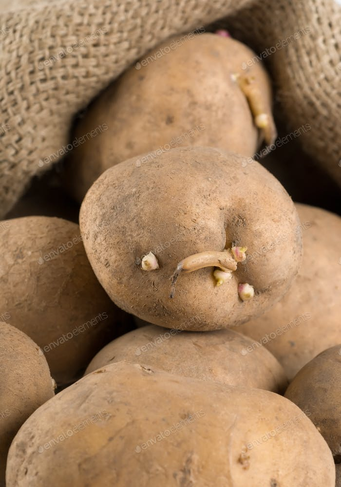 Old potatoes in a bag