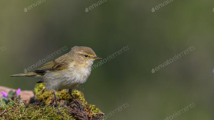 Common chiffchaff sitting on a branch.