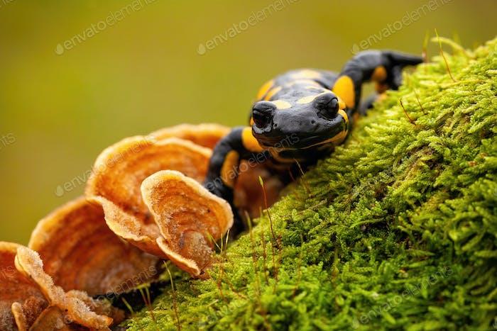 Nahaufnahme Vorderansicht eines Feuersalamander auf Moos und Pilz