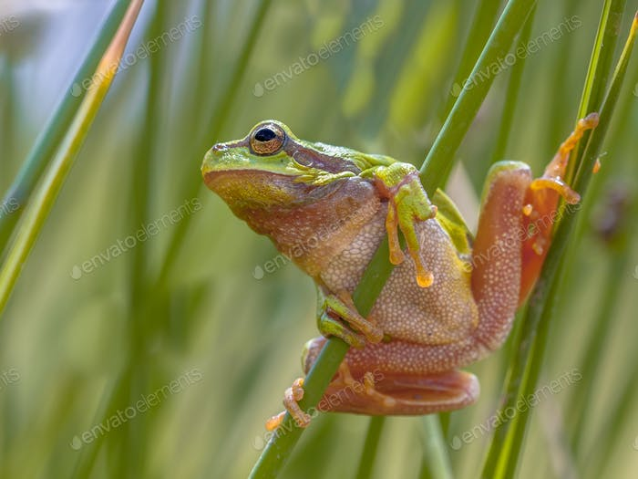 Green tree frog looking up preparing for a leap