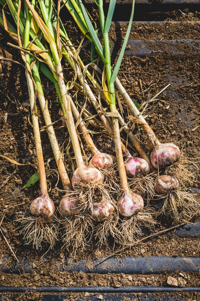 Freshly Picked Garlic Bulbs on Soil and Dirt
