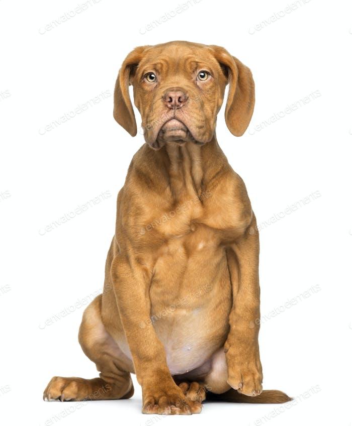 Dogue de Bordeaux Welpe sitzend und mit Blick, 4 Monate alt, isoliert auf weiß