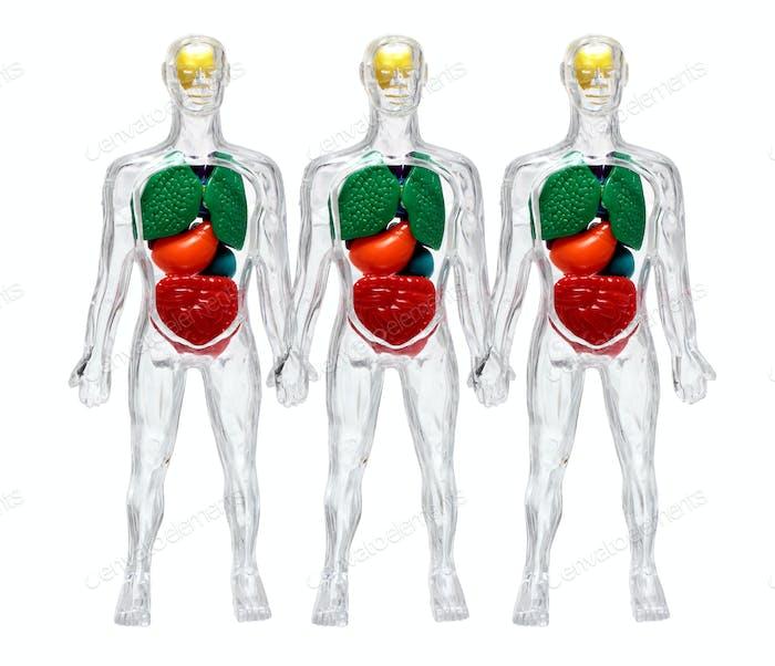 Menschliche Körper