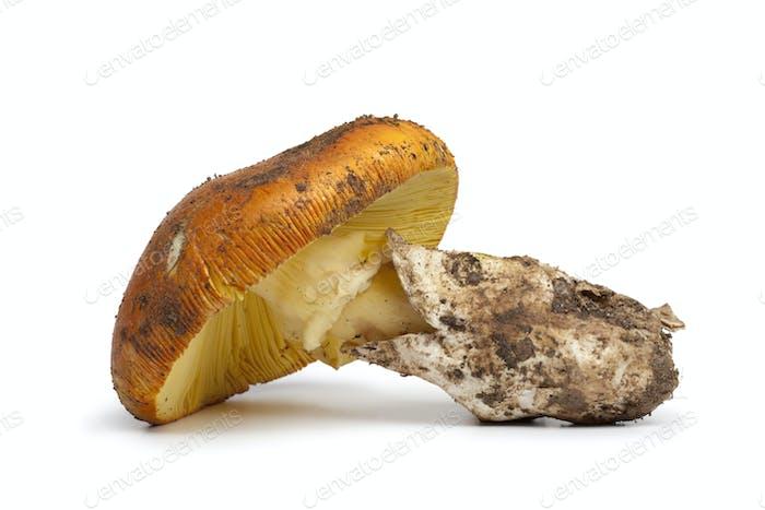 Fresh edible Amanita mushroom