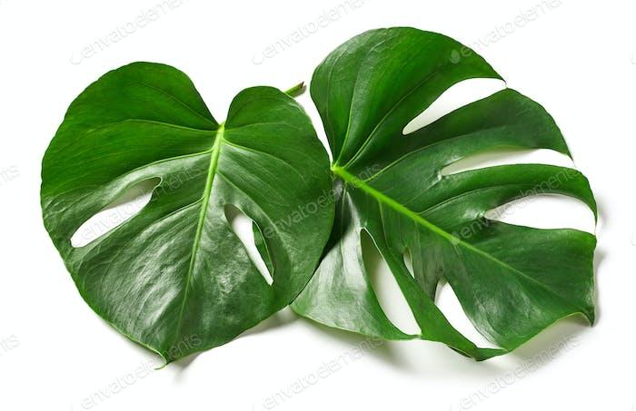 Blätter von Monstera Pflanze