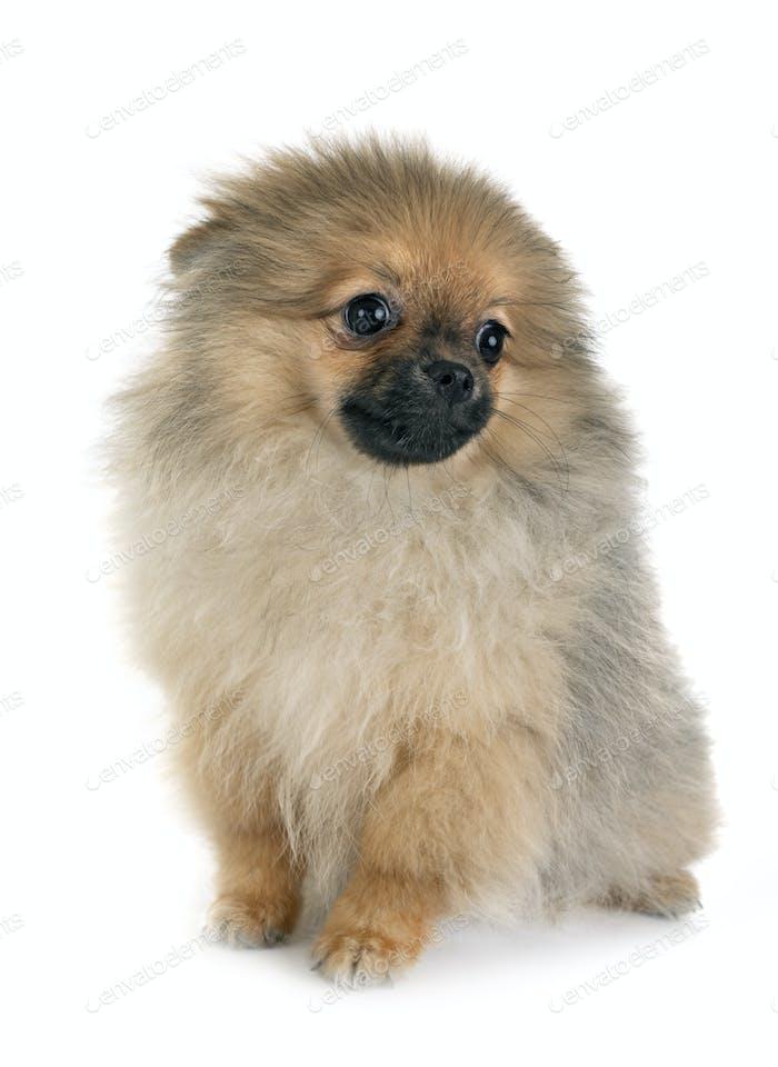 Puppy Pomeranian In Studio Photo By Cynoclub On Envato Elements