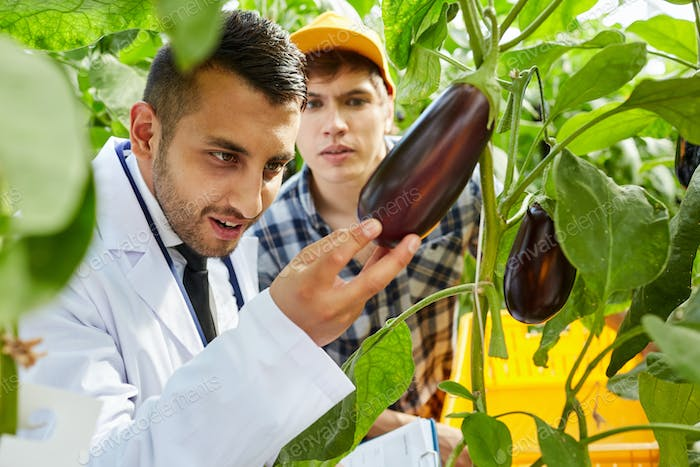 Examining quality of aubergine