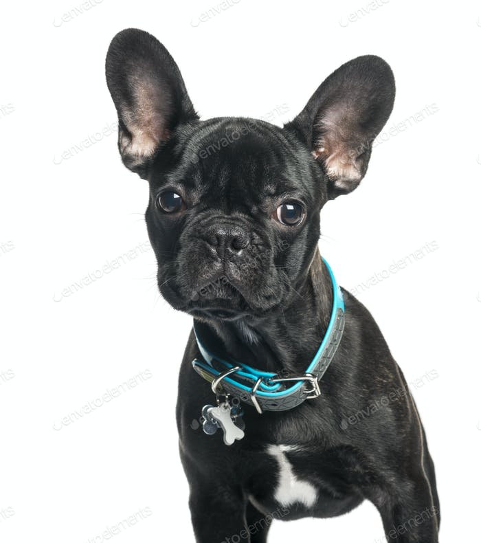 French bulldog, 5 months old, in front of white background
