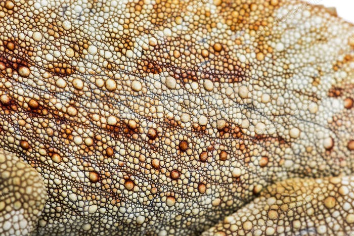 Panther chameleon, Furcifer pardalis, in close up