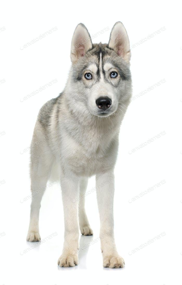 gray siberian husky