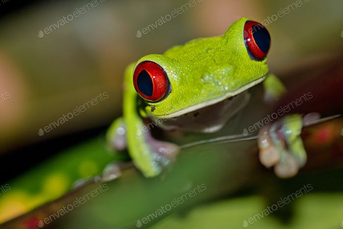 Red-eyed Tree Frog, Corcovado National Park, Costa Rica