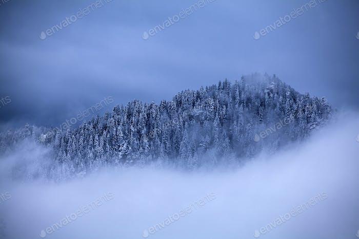 Snowy pine trees