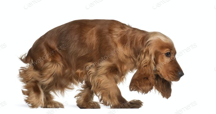 English cocker spaniel, 9 months old, walking against white background