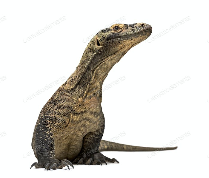Komodo Dragon looking up isolated on white