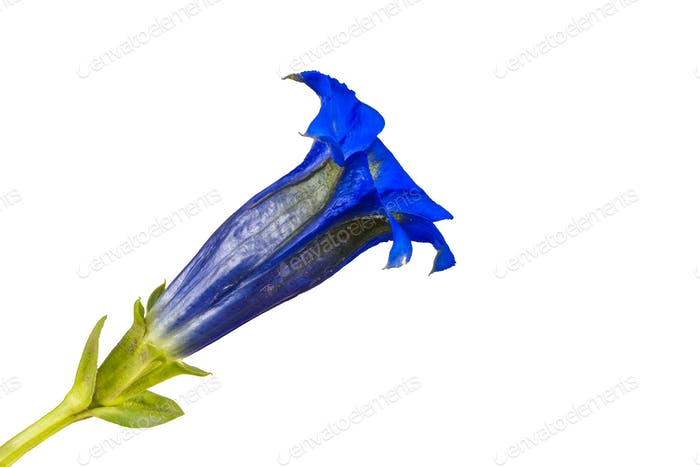 Gentiana flower on a white background