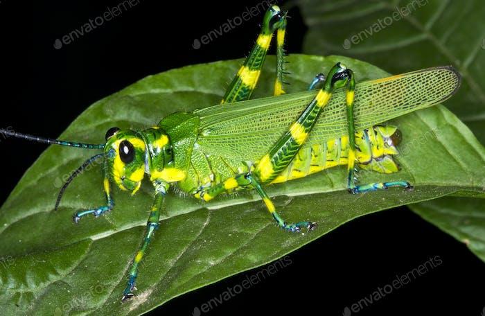 Chromacris Grasshopper at Night in Costa Rica