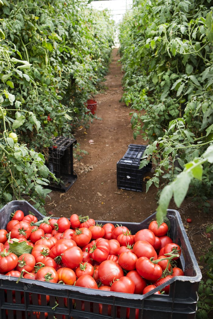 Collection of fresh tomato