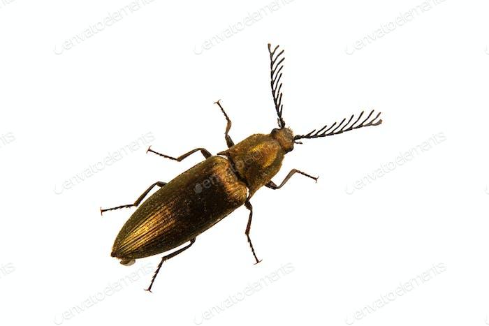 Click beetle (Ctenicera pectinicornis) on a white background
