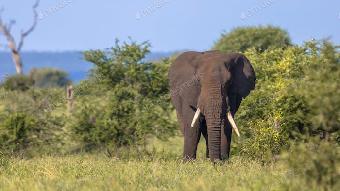 African Elephant walking in bushveld