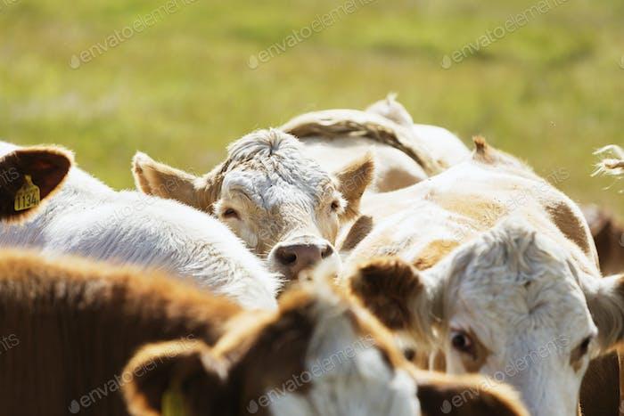 Nahaufnahme der Kühe auf dem Feld