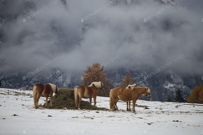 Pferde auf der Seiser Alm, Südtirol, Italien