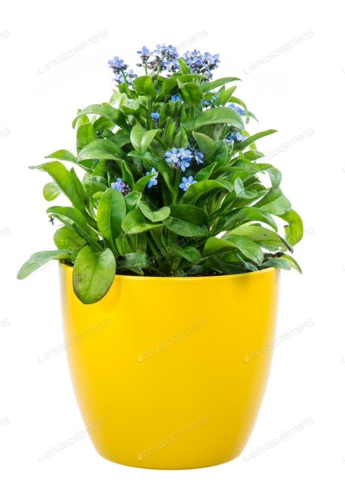 Isolated potted blue Myosotis flower
