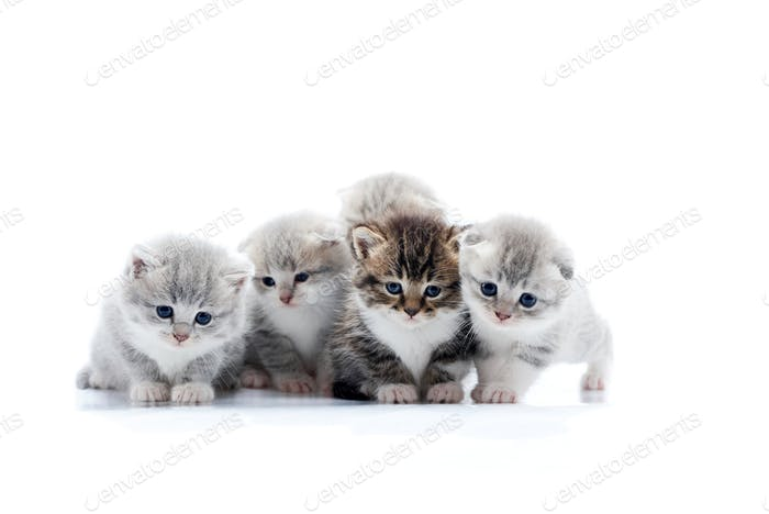 Four small cute grey kittens and one dark brown kitten are posing in white photo studio