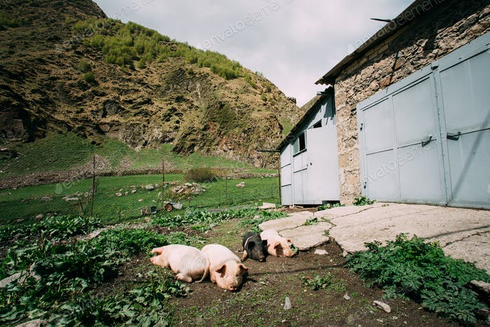 Household Pigs Resting On Ground In Dirt In Yard Of Village Hous