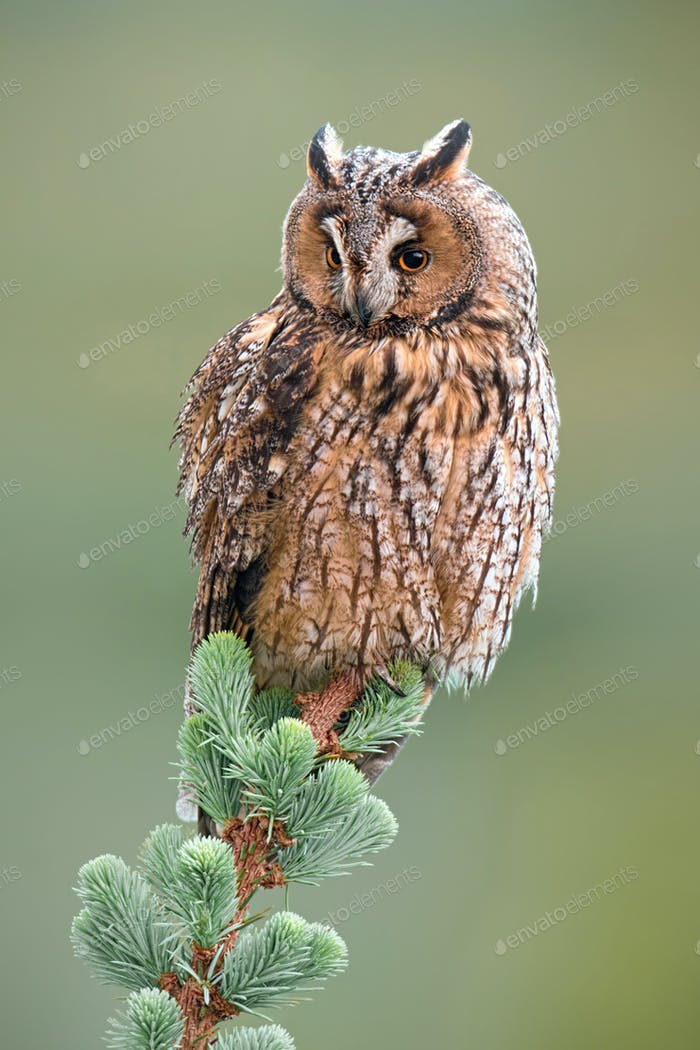 Adult long-eared owl sitting on top of tree in spring with green background