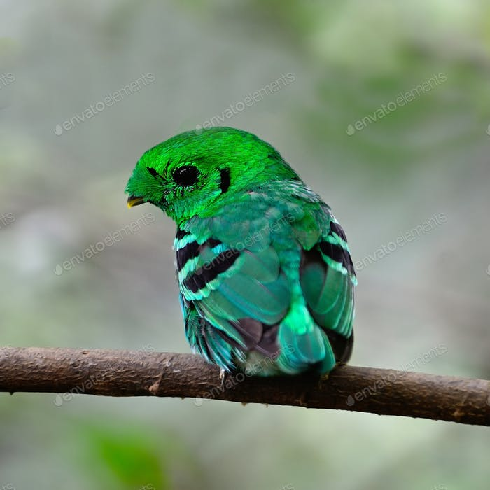 male Green Broadbill