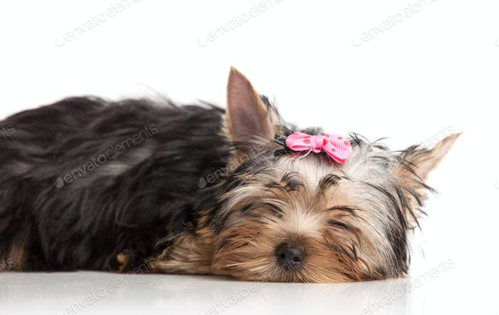 Cute yorkshire terrier puppy asleep