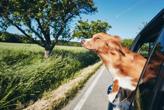 Dog enjoying from traveling by car