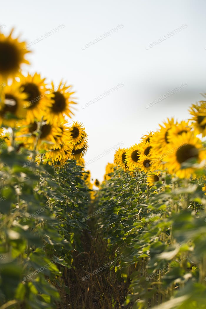 Field of sunflowers. Composition of nature.