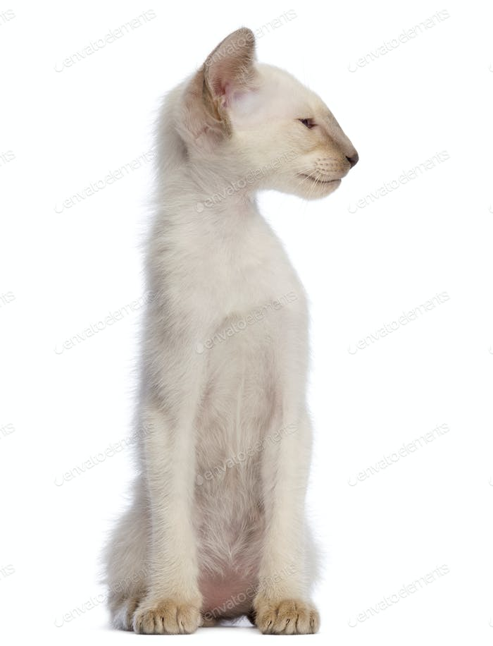 Oriental Shorthair kitten, 9 weeks old, sitting and looking away against white background