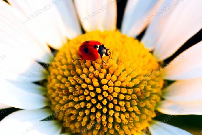 Beetle Ladybug and chamomile flower
