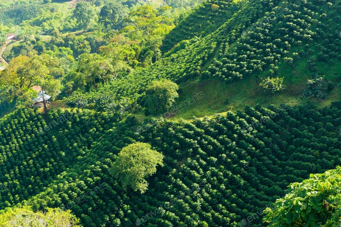 Lush Green Coffee Landscape