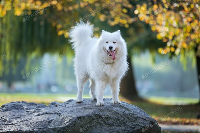 Samoyed dog standing on rock in autumn park