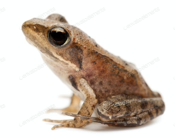 Young Common Frog, Rana temporaria, in front of white background
