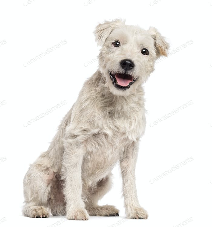 Parson Russell Terrier sitting and looking at camera against white background
