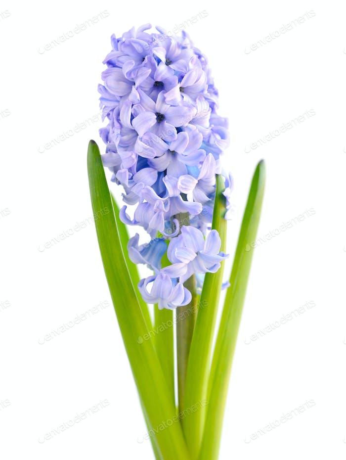 Blue hyacinth on white background
