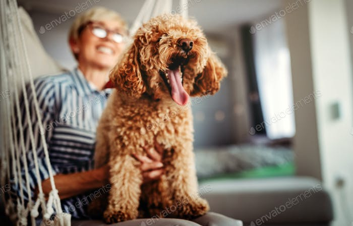 Portrait of a cute brown toy poodle at home, daytime, indoors