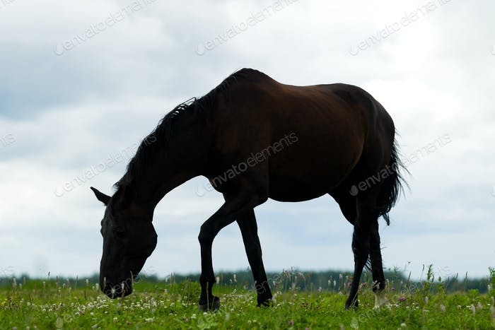 Breeding horse in the pasture